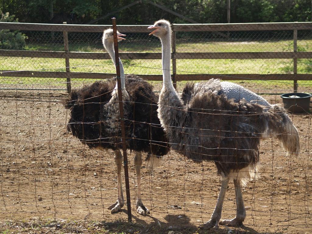 Разведение страусов в домашних условиях для начинающих: как этим заняться