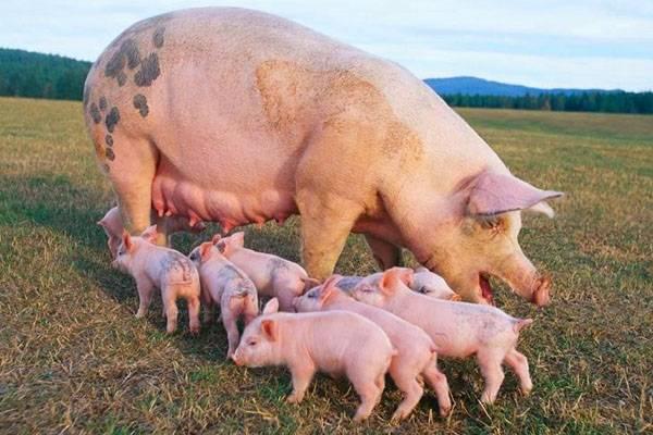 Нормы кормления свиней: что и сколько давать поросятам, хрякам и свиноматкам?