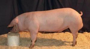 Порода свиней ландрас: характеристика и описание породы, нюансы и проблемы выращивания поросят, кормление и уход, видео и сколько стоит поросенок?