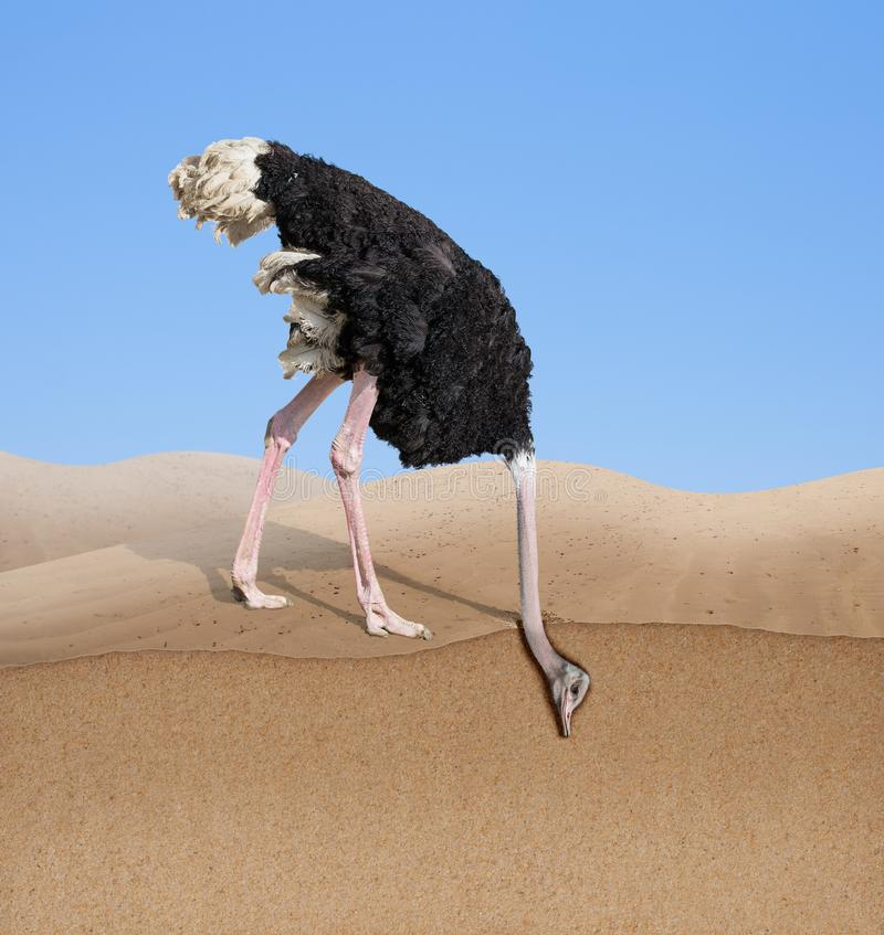 Страус прячет голову в песок — миф или правда