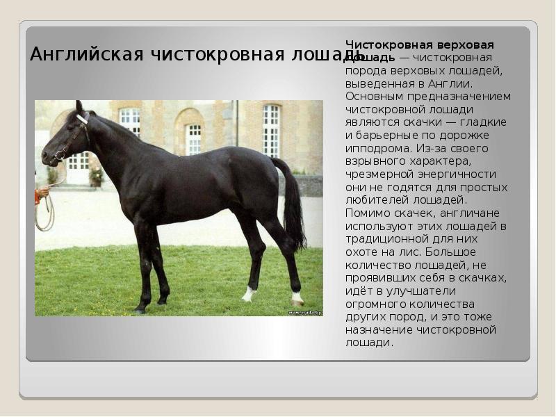 Английская скаковая лошадь: характеристика, содержание и уход
