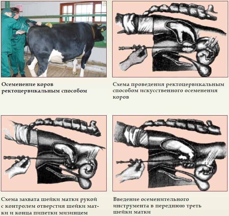 Стельность коровы: что это значит, как узнать, рацион кормления