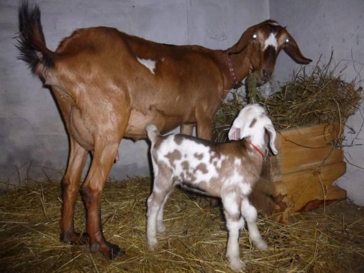 Козы камори – описание породы пакистанских коз, фото и видео