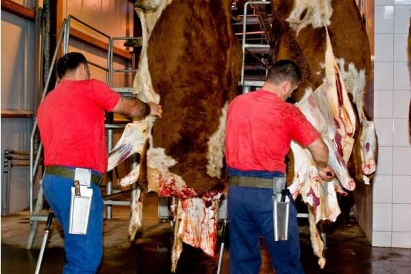 Убой крупного рогатого скота | | coagro :: комман