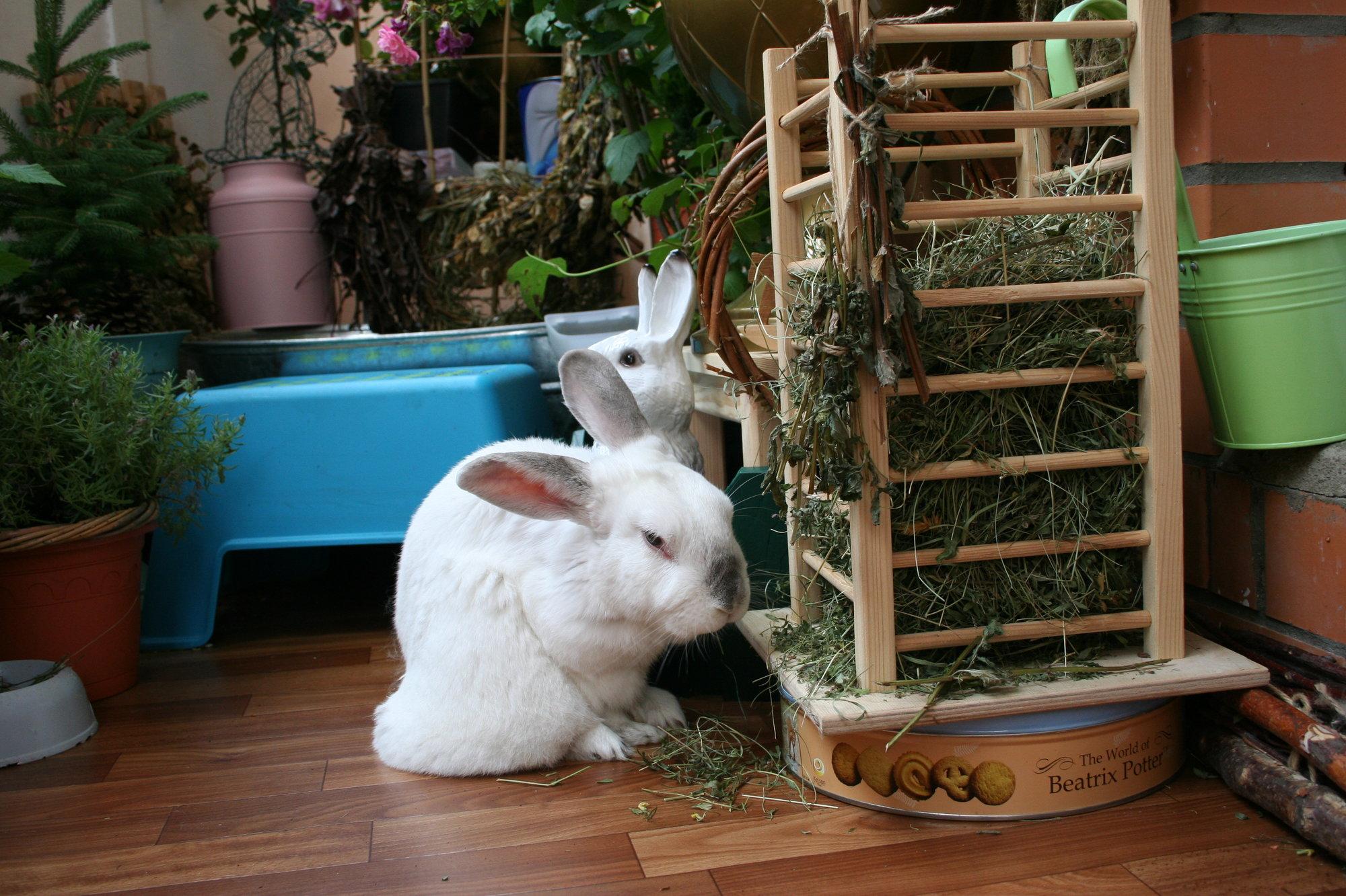 Разведение декоративный кроликов дома