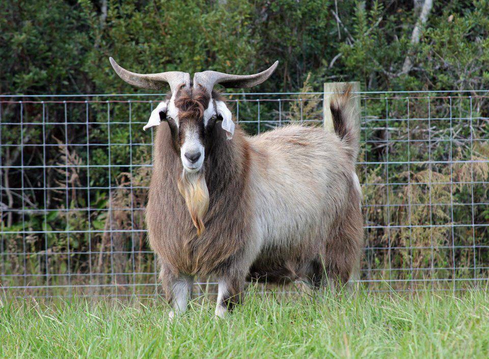 Породы коз с фото и описанием - камчатгосплем