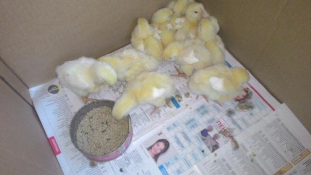 Потеря активности курицы: не ест, не пьет, сидит нахохлившись