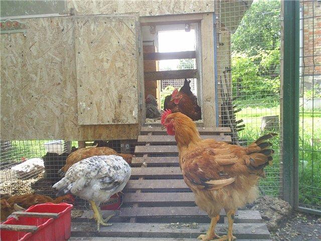 Порода кур – фокси чик: особенности ухода и разведения птицы