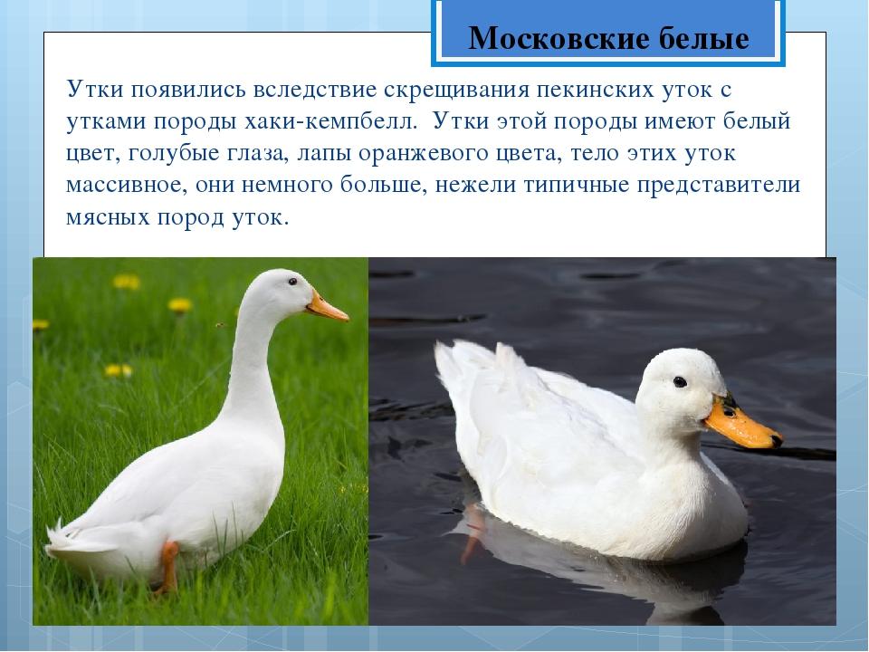 Украшение подворья: башкирская утка