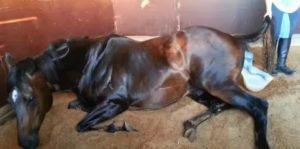 Все о беременности и родах у лошадей |