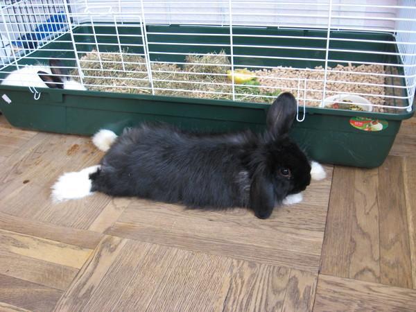 Как дрессировать кролика в домашних условиях