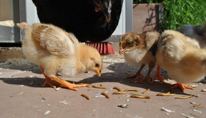 Как приготовить комбикорм для цыплят и для взрослых птиц своими руками?