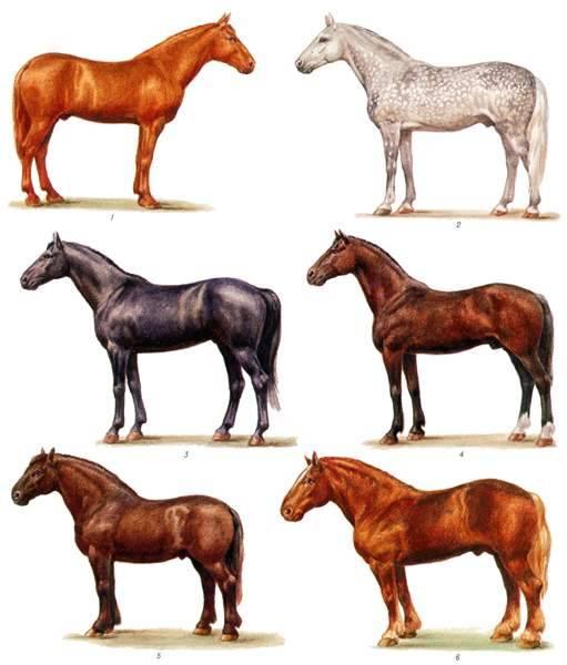 Тракененская лошадь: все о породе