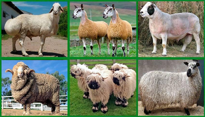 Овцы романовской породы: содержание, разведение