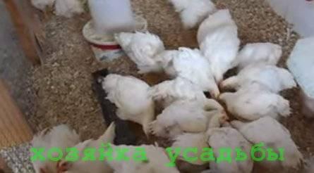 Выращивание и кормление бройлеров в домашних условиях — условия содержания