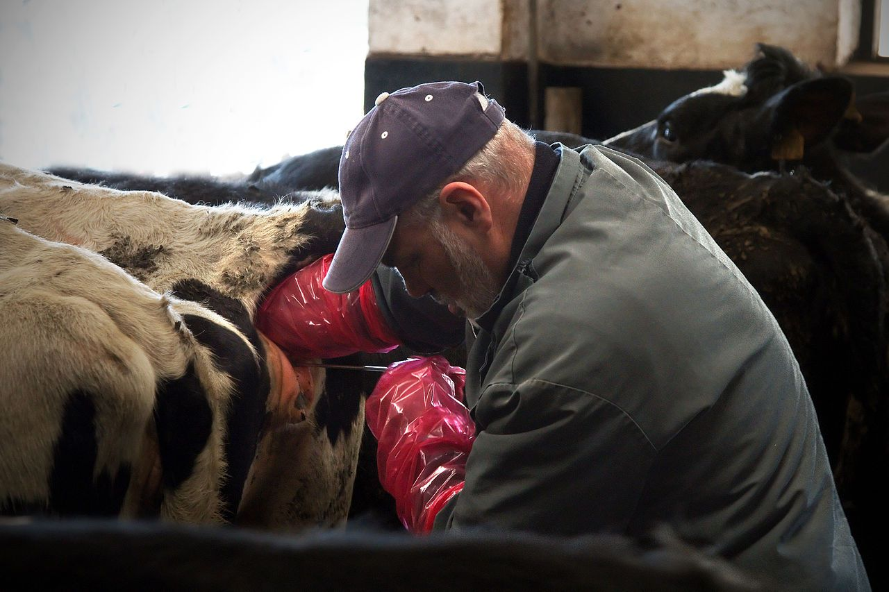 Искусственное осеменение крс, методы оплодотворения коров