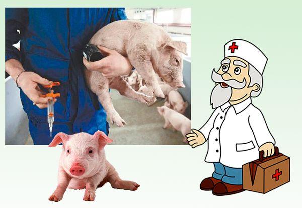 Самые распространенные болезни у свинок — симптомы и лечение. болезни свиней: профилактика и лечение