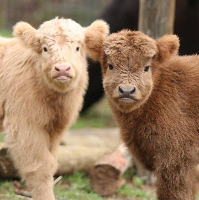 Плюшевая корова: описание, содержание и уход за пушистой породой