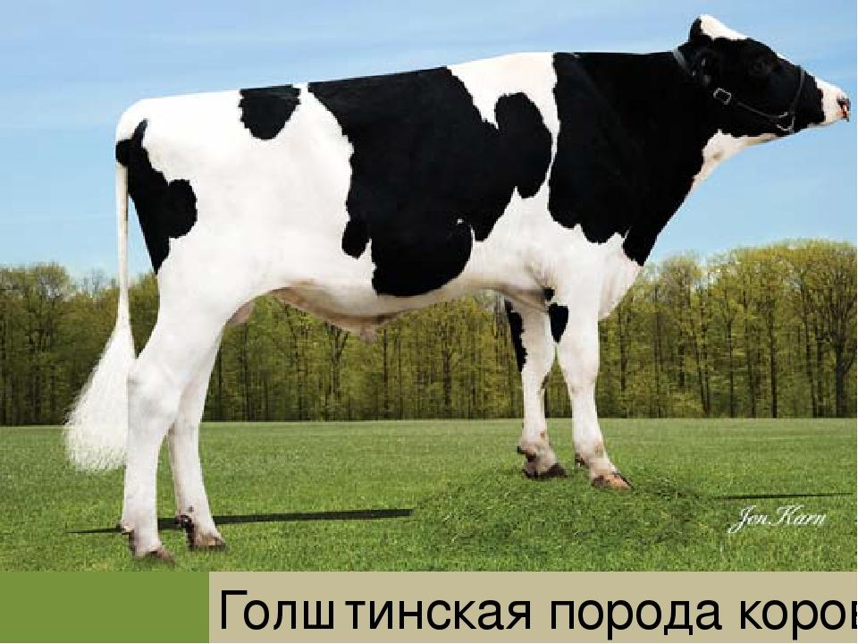 Красно-пестрая порода коров: характеристики удоев, вкус мяса, фото буренок голштинская масти — moloko-chr.ru