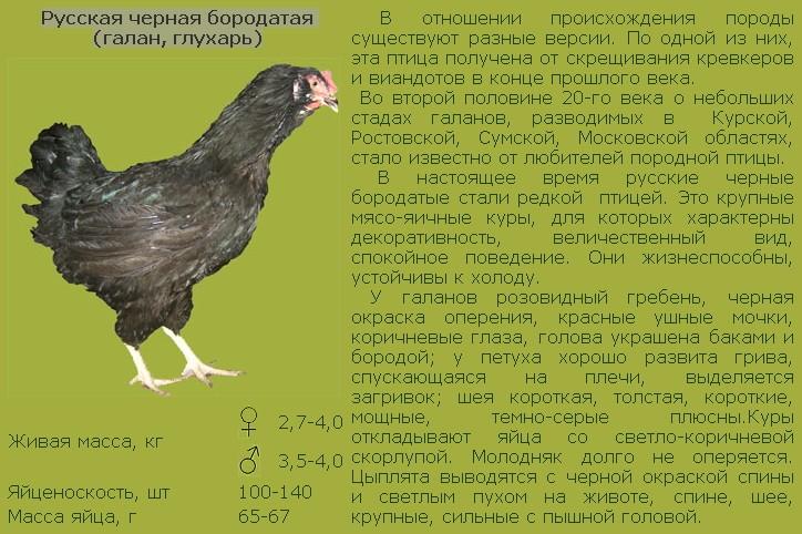 Описание мясо-яичных пород кур: московская черная |