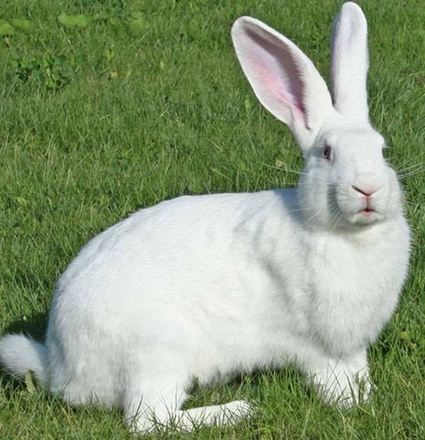 Кролик белый великан альбинос: описание породы