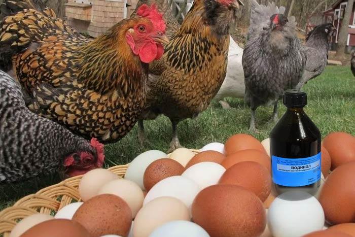 Йодинол для кур - инструкция по применению для птицы, синий йод в ветеринарии для животных, дозировка для цыплят-бройлеров