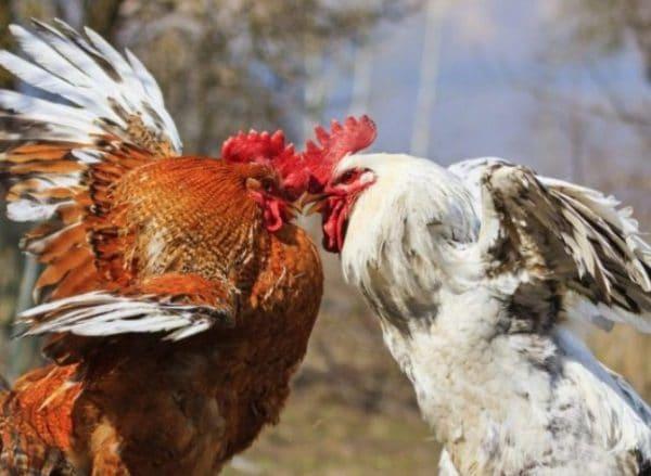 Расклев до крови у цыплят: причины, протекание, лечебные и профилактические меры