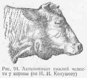 Что делать если у коровы на челюсти шишка
