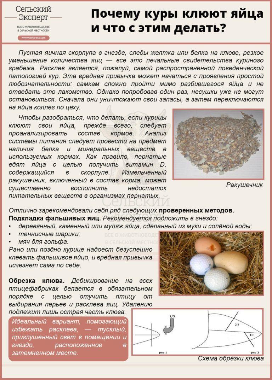 Лучшие яйценоские породы кур несушек для дома, подробное описание, советы по кормлению