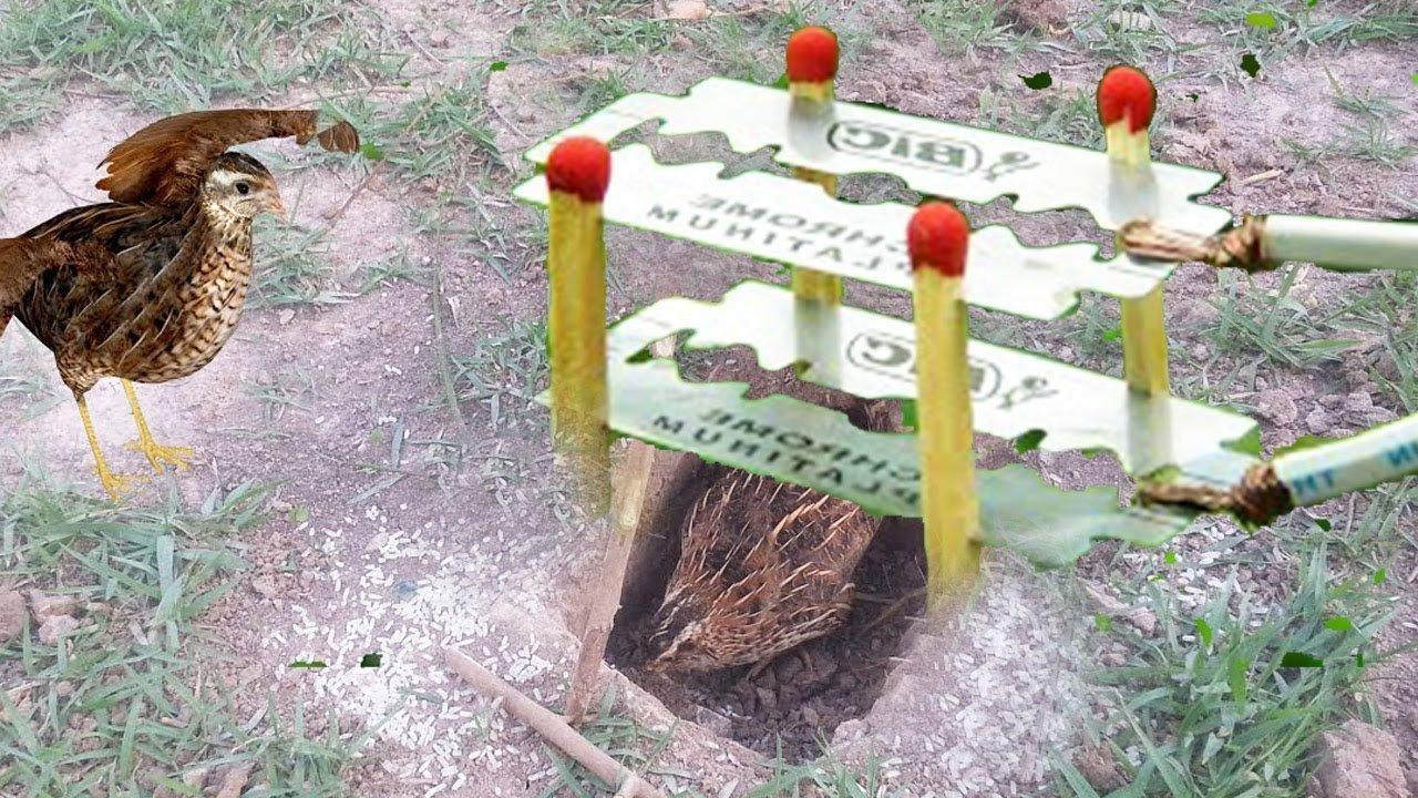 Как поймать фазана живым на петлю, на крючок, сетями и при помощи клетки и снотворного.