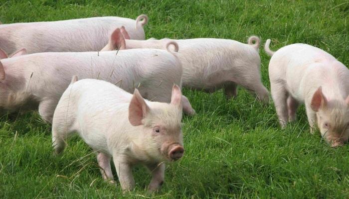 Как вывести глистов у свиней и поросят?