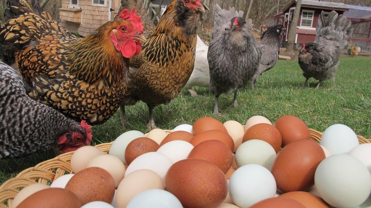 Какой срок жизни отмерян курице