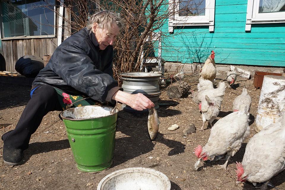 Рыба для кур: можно ли давать солёную, варёную и сырую, в чём польза