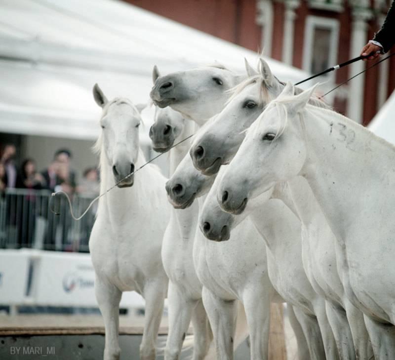 Лошадь лузитанской породы(лузитано): история и описание | мои лошадки
