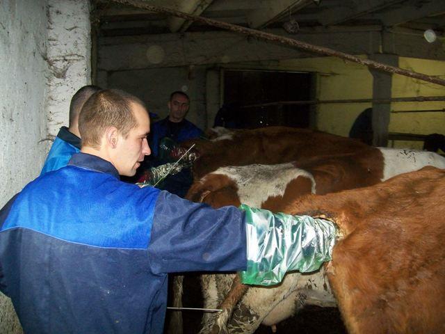 Теоретические основы искусственного осеменения коров