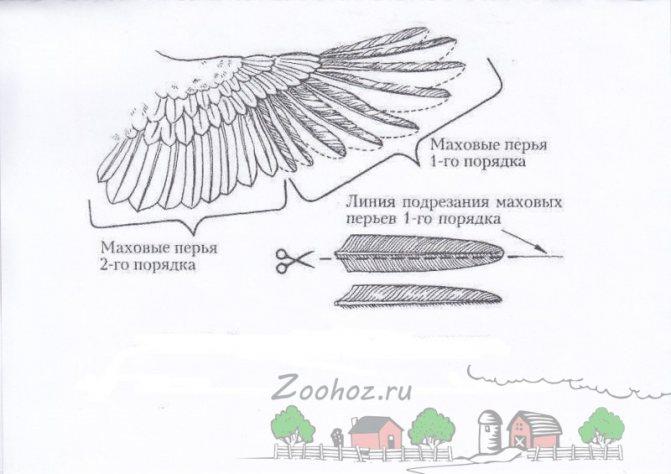 Как подрезать крылья индюкам? - огород на 5
