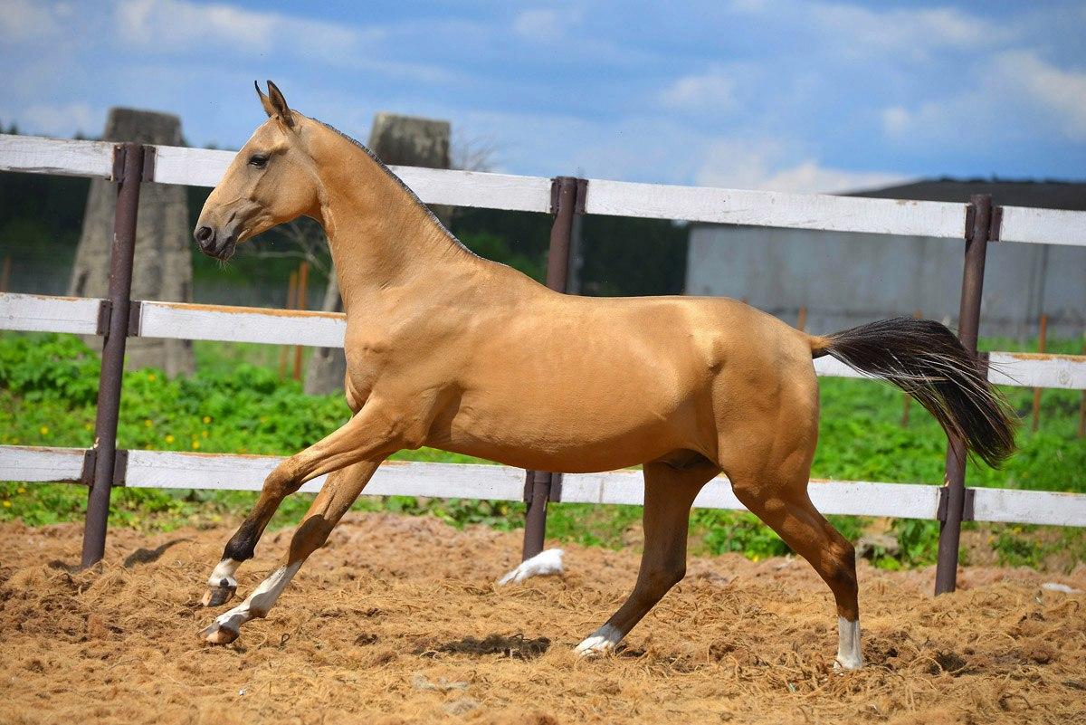 Обзор ахалтекинской породы лошадей: характеристика с фото и видео