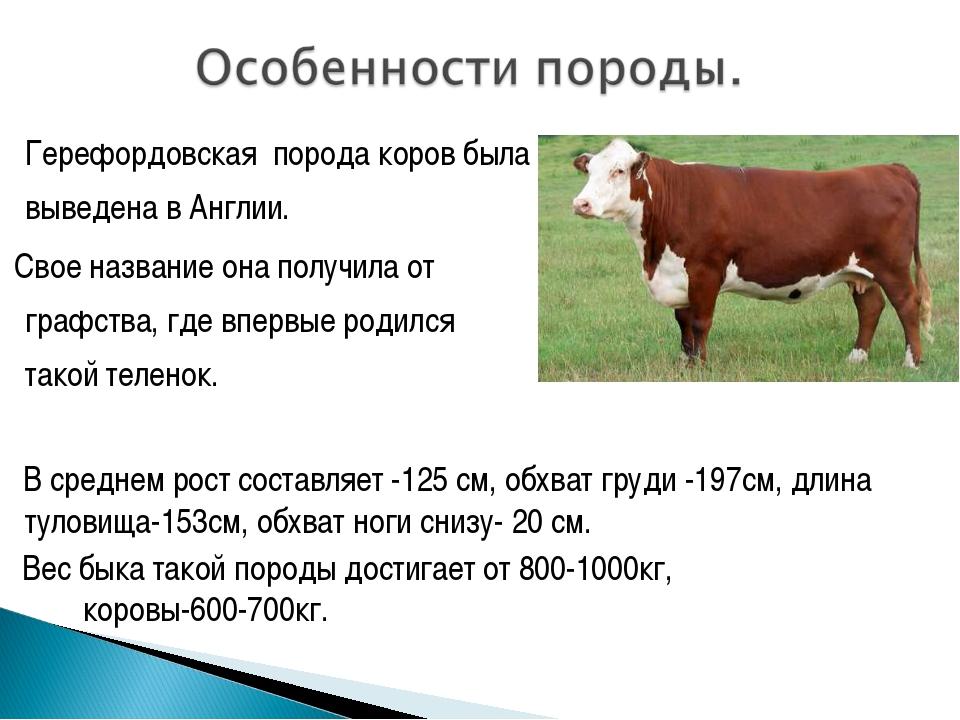 """""""чёрная пёстрая"""" порода коров ?: характеристика, история, условия содержания и фото"""