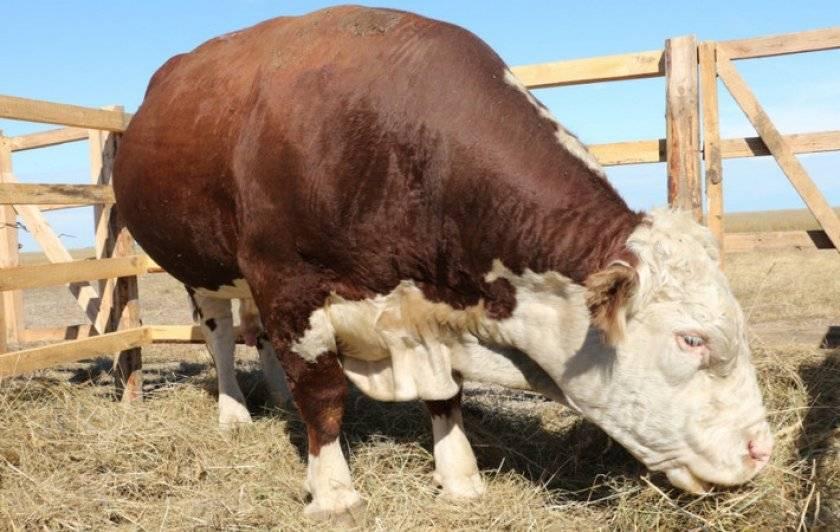 Крупный рогатый скот казахской белоголовой породы: описание самых важных характеристик