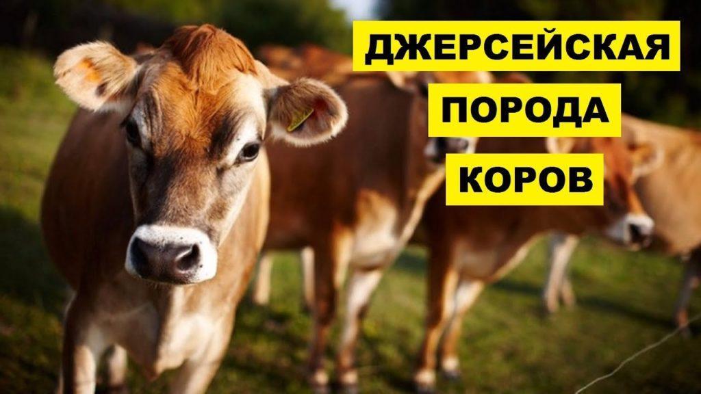 Джерсейская порода коров: описание и характеристика
