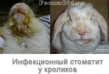 Стоматит у кролика — лечение и профилактика, чем лечить инфекционный мокрец |