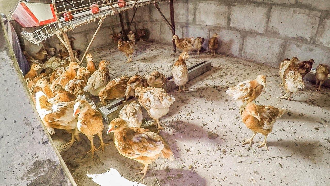 Всё про содержание кур наседок: от строительства птичника до выращивания цыплят