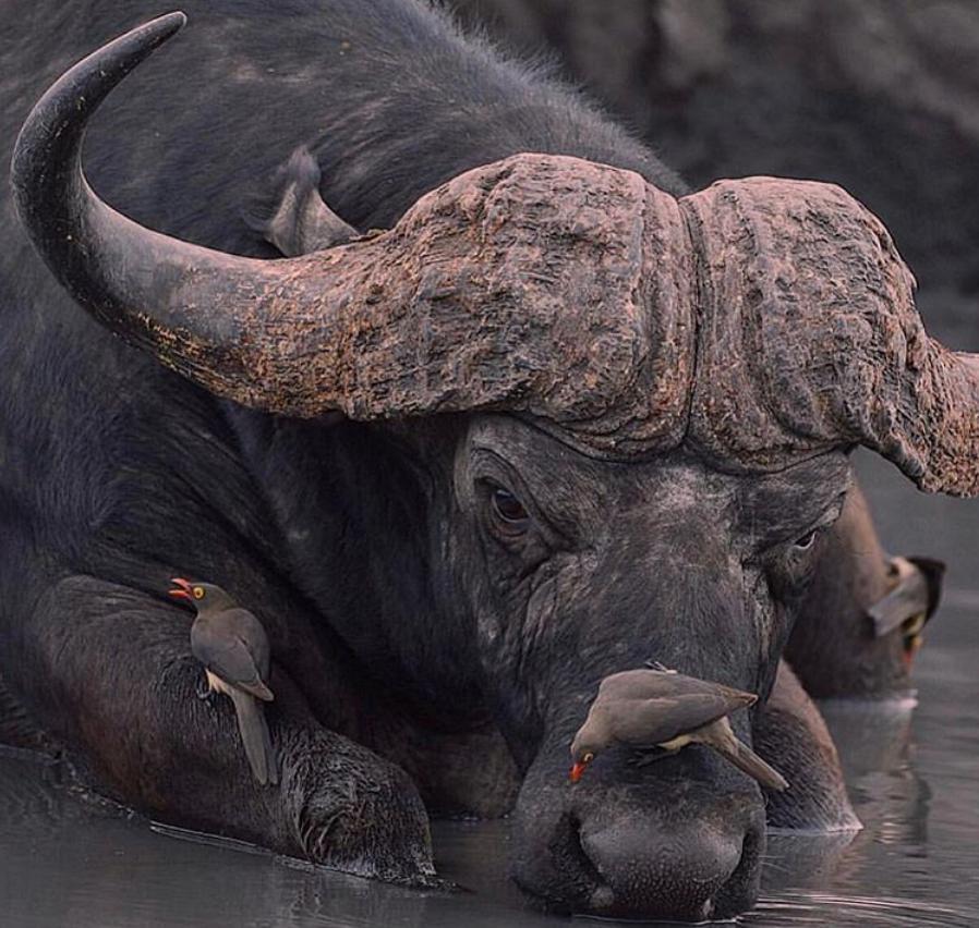 Домашний буйвол: особенности содержания и ухода — cельхозпортал