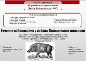 Чем африканская чума свиней опасна для человека