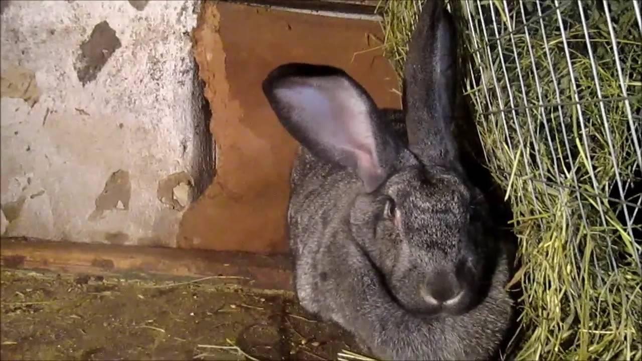 О кролике шиншилла: преимущества и недостатки советской породы, описание, уход
