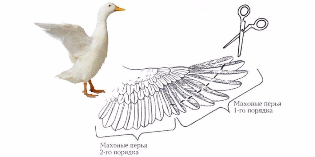 Как подрезать курам крылья чтобы не летали