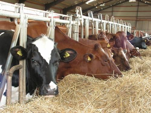 У коровы слезятся глаза лечение народными средствами