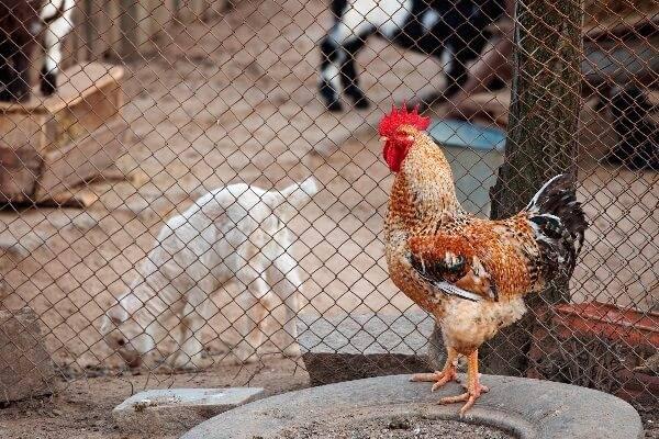 Что делать если курицы клюют петуха и почему возникает такая проблема в стаде