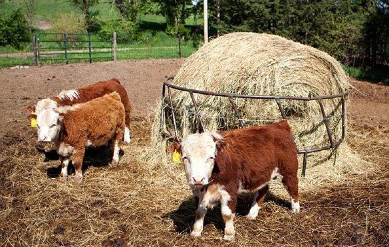 Мини-козы: карликовые декоративные породы