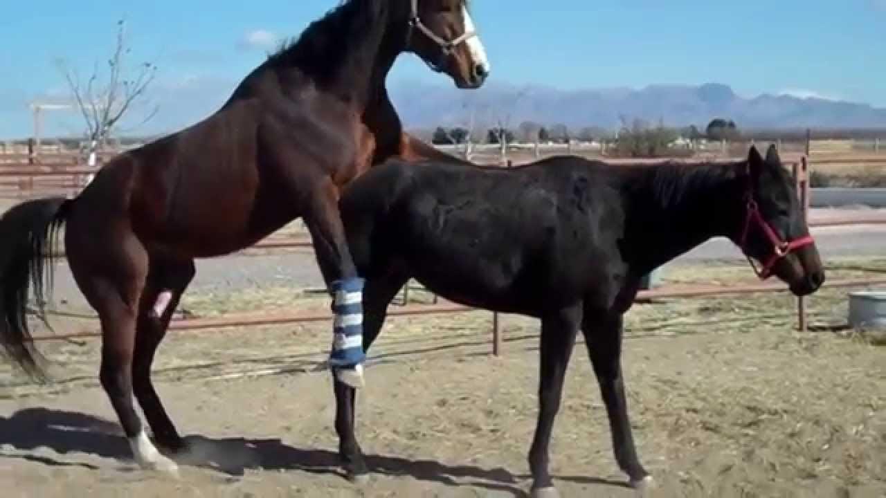Как проходит спаривание лошадей, выбор и подготовка коней к вязке